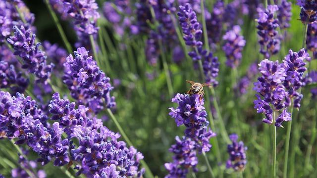 Lavender Flower in Garden
